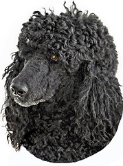 Ebonique (ebonique2007) Tags: dog black blackdog poodle sensational bestinshow standardpoodle blueribbonwinner creativephotography ebbie blackstandardpoodle abigfave photoshopper adorablecritters betterthangood everydayissunday proudshopper perfectphotographer awesomepictureaward goldstaraward goldsealofqualityaward overtheshot bestflickrphotography passionateinspirations