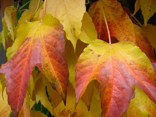 Zwei Wilder-Wein-Blätter Nov.2008