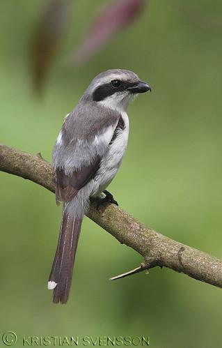 Mackinnon's Shrike (Lanius mackinnoni) by macronyx.