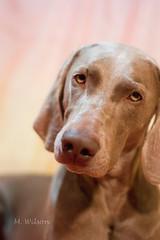 I just wanna snuggle you.... (kia's r kid) Tags: dog cute fall love beautiful face 50mm nikon october pretty sweet weimaraner d100 sweetness 2008 lylah lylahblog