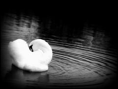 Silent Night (Kirsten M Lentoft) Tags: bw lake bird water denmark swan wetlands herlev riples bej smørmosen kirstenmlentoft