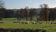 sheep (Margaret Stranks) Tags: sheep walk oxfordshire banbury broughtoncastle northnewington bbcoxford