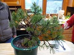 Mugho Pine early November 08 (Suckerpunching) Tags: larch yamadori sanctuarybonsai