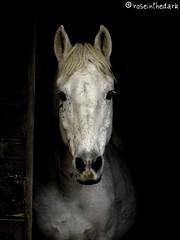 Hope and fear (roseinthedark) Tags: horse beautiful dark lost caballo lumix sadness sara lovely equestrian soe equine equus treatment fz50 f37 manualmode flickrsbest abigfave hopeandfear anawesomeshot impressedbeauty visiongroup platinumheartaward goldstaraward rubyphotographer vosplusbellesphotos jediphotographer dragondaggeraward