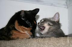 09-Dec 08- 016 (PondInk :) Tags: cats cute love beauty cat fun grey kitten chat buddies kisses kittens gatos gato calico playfulness playmates poquita pondink poquitaandgrey