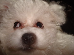 DSC01421 (Carolyn Darnton) Tags: dogs carolyn bichonfrise percy