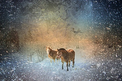 Horses in ice world... (Isabelle Ann) Tags: winter horses horse painterly art ice rural landscape caballo cheval vermont photographer fantasy isabelle dreamworld cavallo cavalo pferd equine equus paard mostbeautiful equineart artlibre isabelleann isabelleanngreen equestrianart equinephotographer sleighrally artistichorse isabellegreen isabellegreenphotography isabelleannphotography isabelleannhorses equineartist gmhasleighrally gmhasleigh sleighcompetition