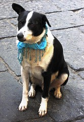 Buongiorno Ladies and Gentelman, May I recommend a local Chianti to go with your steakbone? (moonjazz) Tags: hello italy dog white black love smile face scarf still friend quiet affection coat ears perro floppy sit chianti service paws sorrento greet shepard waiter austrailian behaved cannine overtheexcellence flickrlovers