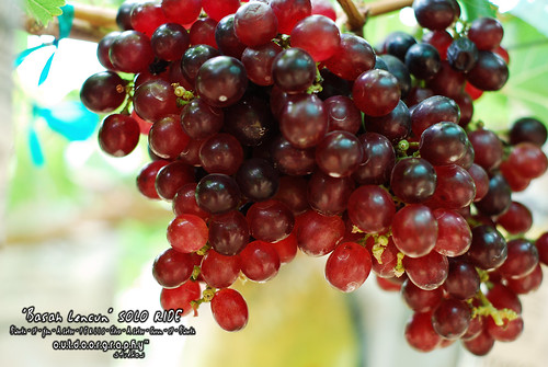 Basah Lencun Ride : Grapes @ Perlis #1
