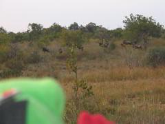Ah! Wildebeeste