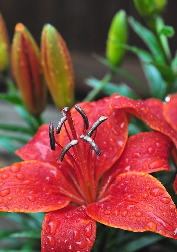 Red Lilly in the rain