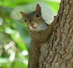 A Squirrel's Portrait... patiently waiting for me to find the right angle (jungle mama) Tags: tree squirrel miami tropical flirtation squirrelontree naturesfinest friendlysquirrel squirrelinatree supershot abigfave squirrelcloseup ysplix natureselegantshots 100commentgroup vosplusbellesphotos dragondaggeraward travelsofhomerodyssey biscayneparkflorida squirrelflirting squirrelwaiting squirrelwhiskers flirtaceoussquirrel