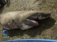 cmaximus25 (Tiburones Chile) Tags: chile peregrino diversidad biodiversidad especieamenazada tiburonperegrino sabiasquedescubre