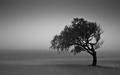 Single ............Black &White (Ryan Gardiner) Tags: bw tree monochrome fog alone goderich