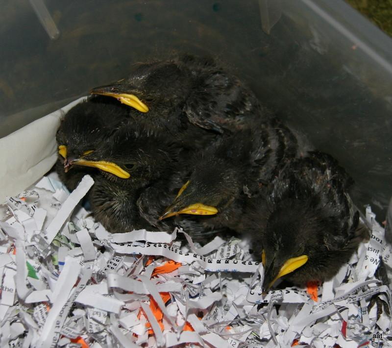 baby birds 010