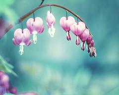 Follow Your Heart. (CarolynsHope) Tags: pink flowers blue color floral hearts aqua heart bleedinghearts carolynshope