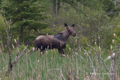 Moose in the Beaver Bog-13.jpg