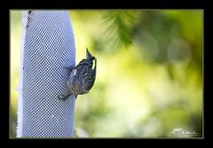 Pine Siskin, Carduelis pinus (the_coprolite) Tags: canada nikon bc britishcolumbia sigma pinesiskin burnaby d300 120400mm