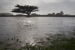 Cypress on the Flooded Golf Course (AGrinberg) Tags: tree golf point pacific course cypress laguna pacifica mori greyday salada flooded grayday wetfeet 1986golftree