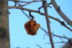 Wilted Rose or Rotten Apple? (Cameron Darlirace) Tags: rose march rottenapple wiltingrose wiltedrose