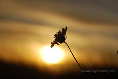 Sunset Wild Flower (CodrinG) Tags: flower sunsetflower