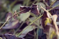 dead plants (leannaphotographs) Tags: plants brown green nature leaves dead outside spring deadleaves deadplants