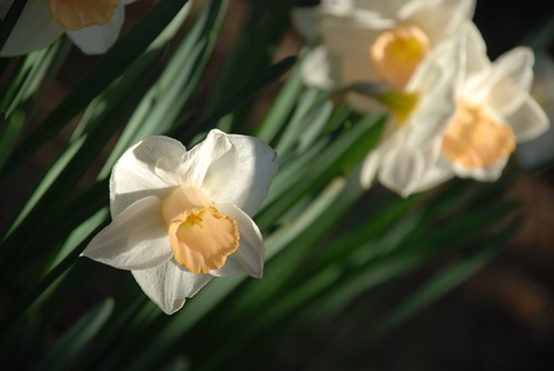 daffodils, peach and white
