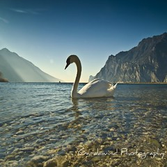Garda Lake and his swan... (gardawind) Tags: lake lago swan garda uccelli swans acqua cigni sameplace cygnus cigno firstquality gardawind diamondclassphotographer