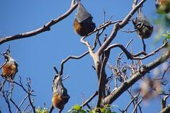 Hanging Bats (Mozzer) Tags: bat sydney australia newsouthwales botanicalgardens flyingfox