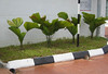palmunname (rhmn) Tags: palms landscaping picture bamboo shrub plans ideas