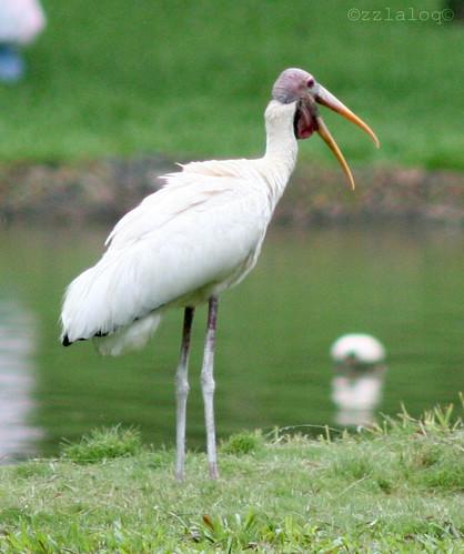 Upeh Bakau @  Milky Stork