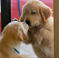 Window Puppies --EXPLORED (sundero) Tags: window goldenretriever puppy golden puppies kiss