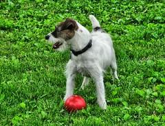 happy furry friday =) (susan *tt*) Tags: dog canon ball buddy parsonrussellterrier canonpowershots3is flickrgolfclub