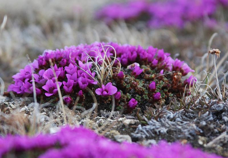 080619-Purple Saxifrage