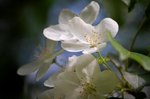 Blossom.QH0508