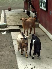 Binghamton Zoo - Nigerian Dwarf Goats (fkalltheway) Tags: goats nigeriandwarfgoats binghamtonzoo fkalltheway