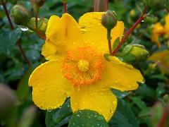 bei tempi.. (Liberty Place) Tags: flower nature fleur rain yellow jaune flor natura drop giallo fiore pioggia gocce naturesfinest bej fotoincatenate