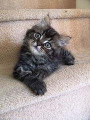 IMG_6407 (chrisgandy2001) Tags: cute cat kitten artist tabby longhair images getty gettyimages longhaired fluffly fluffball aplusphoto gettyimagesartist