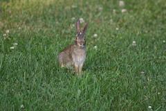 IMG_3570 (Blackavar Lion) Tags: rabbit bunny animal evening conejo wildlife coelho  lapin watershipdown kaninchen    canonrebelxti  2be2176f59cfac7c3f99b44a73b29c9b