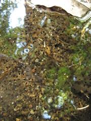 Eggs! (Fiver13) Tags: backyard wildlife amphibian frog urbanwildlife eggs tadpoles frogeggs animalreproduction frogreproduction pennsylvaniastreams