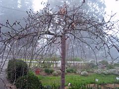 morning fog (bookbirdviv) Tags: morning winter fog weepingcherry myfrontyard