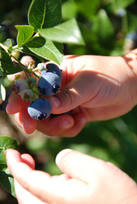 picking blueberries