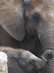 Scotty and His Mommy (John P.C.) Tags: africa baby elephant animal canon zoo african mommy louisville scotty louisvillezoo paciderm iamflickr
