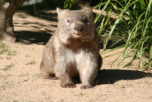 "Doesn't this Wombat look like Francis from the book ""A Bargain for Francis?"" by TheGirlsNY."