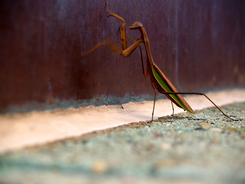 Praying Mantis on top of Kansas City