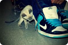 Playful kitten (jami_lee) Tags: playing cat kitten nike