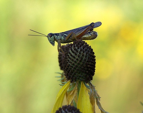 A grasshopper lazed in the summer sun,