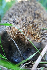 thank you (gre4eskij_nos) Tags: autumn cute nature grass animal funny tiny needles hendehog