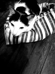 Na mala... (JBrischi) Tags: cats animals gatos bichos animais mala maletas bichosdajassy