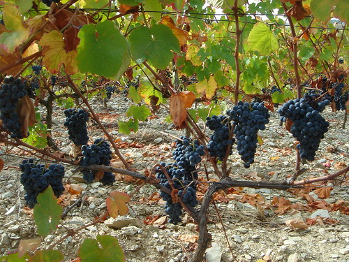 Touriga Nacional vine from Quinta da Trovisca
